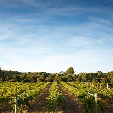 Moss Wood Vineyard Lines