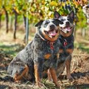 Moss Wood Winery Heelers