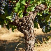 Moss Wood Old Cabernet Sauvignon Vine